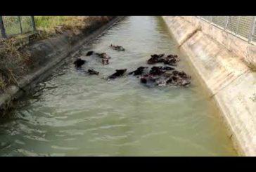 I cinghiali scorrazzano lungo i canali e nelle campagne di Ginosa