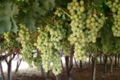 Cia Puglia e LACO contro le multinazionali dell'uva da tavola senza semi