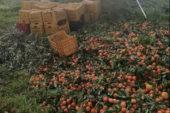 Taranto, agrumi non raccolti: la Cia scrive a Bellanova e Pentassuglia