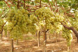 Teloni e uva da tavola, Cia Puglia: «Irresponsabile chi criminalizza il settore»
